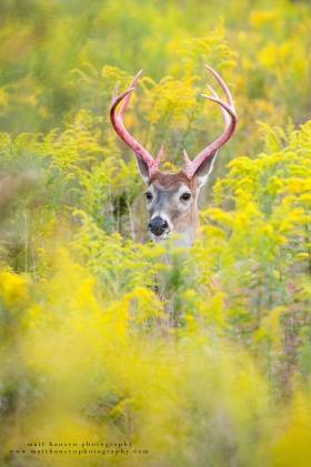 a 8 point in a yellow goldenrod field with bloody antlers