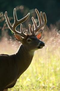 10 point buck portrait backlit in velvet