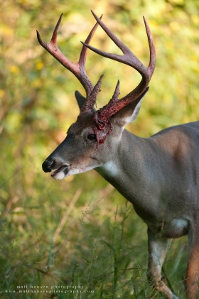 a buck walks with a bloody face from coming out of velvet