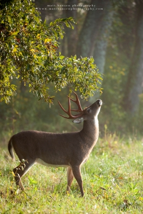 a 8 point buck stretches his neck for a licking branch in a morning field