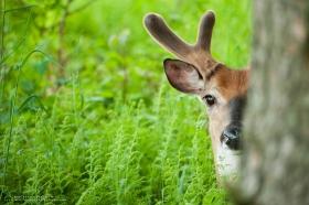 a big buck in velvet peeks out behind a tree
