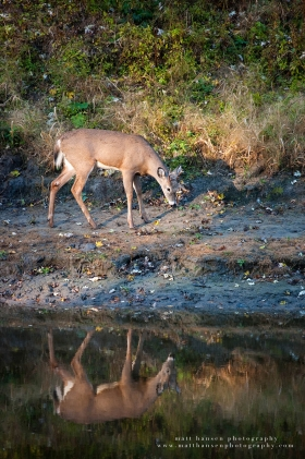 a small buck walks next to a river with a reflection
