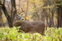 a big bodied buck stands in a forest