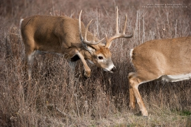 a big buck steps right behind a doe ready to breed