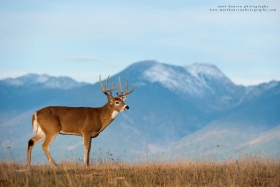 a big buck stands in the mountains