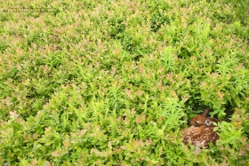 a wide angle view of a newborn fawn beds in ferns