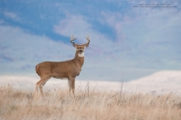 a nice young buck stands broadside on a mountain ridge