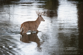 a big buck crosses a river