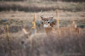 a buck stands in the background guarding a doe