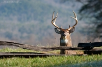 a big 8 point is alert behind a low wooden fence
