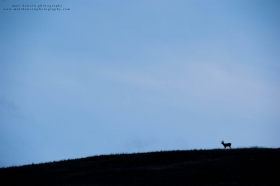 a buck is small in the frame silhouetted on a ridge