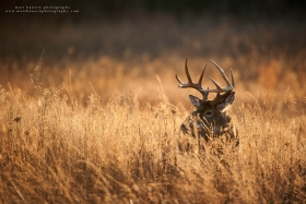 10 point buck in dramatically lit field