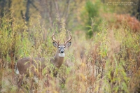 a good looking 8 point buck is in a fall field