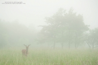 an environmental image of a buck in a foggy summer field