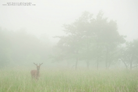 an environmental image of a buck in a foggy summer field