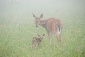 A doe and fawn look back at the camera in a foggy field