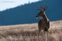 a big buck stands with his mouth open in the mountains