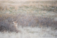 young buck bedded in a pretty field