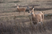 a doe stands in the foreground with a buck behind her