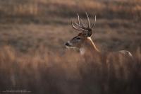 a big buck stands on a ridge with nice lighting