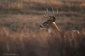 a big buck stands on a ridge with nice lighting