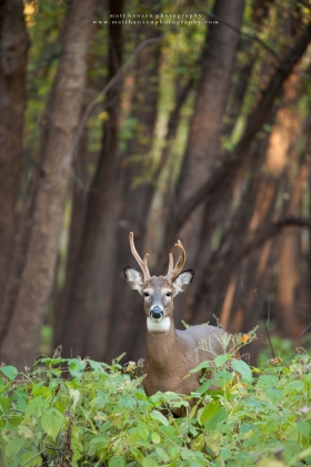 a doe with antlers stands in a forest at sunrise