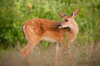 A fawn looks over it's shoulder