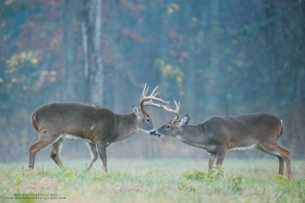 a big buck touches noses with a small buck