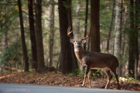 a big 10 point is about to cross the road