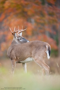 a young 8 point buck looks behind with vibrant fall colors