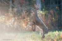 a 10 point buck stands on his hind legs to reach a licking branch