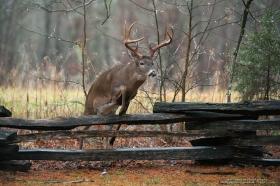 a big 8 point buck jumps a fence