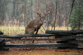 a big 8 point buck jumps a fence