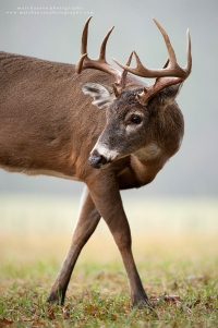 a young 10 point looks back while stepping in a foggy field