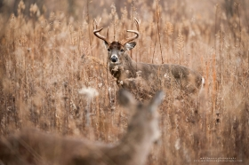 an impressive whitetail buck looks at a doe in a brush field