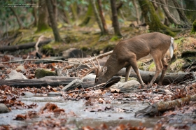 a big 10 point buck drinks out of a stream