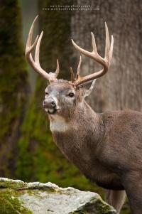 a huge buck portrait with an injured eye