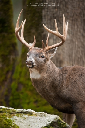 a huge buck portrait with an injured eye