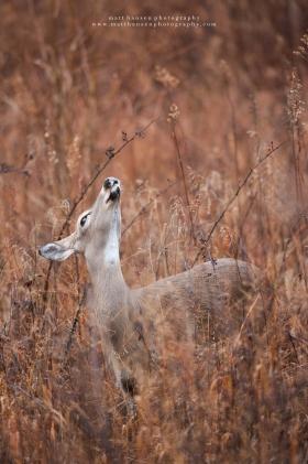 a doe smells the air