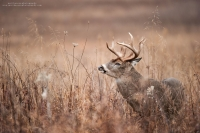 A heavy antlered buck raises his nose