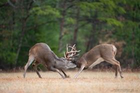 whitetail bucks spar in a field