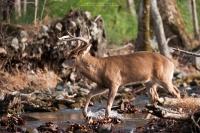 A big buck walks across a stream.