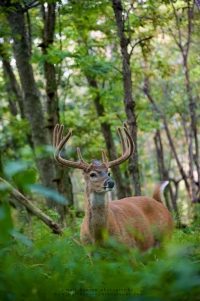 a big 8 point in velvet stands in a summer forest