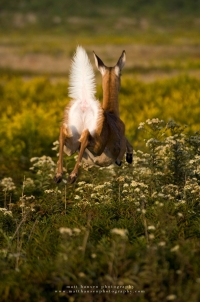 a doe leaps through a wildflower field with tail up