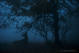 a dramatic buck making a scrape photo at twilight