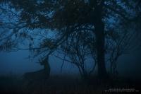 a dramatic buck making a scrape photo at twilight