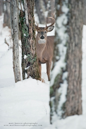 a 8 point looks on between trees in a snowy forest