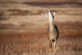 a doe puts her nose into the air to scent