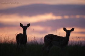 fawns are silhouetted at sunrise