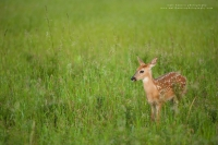 a small fawn stands in a field at sunrise